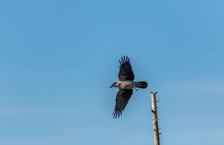 screen savers: hooded crow with wings spread taking off from its post