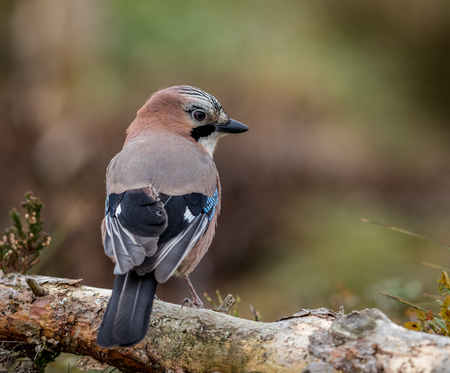 Jay in the forest sitting on a fallen tree
