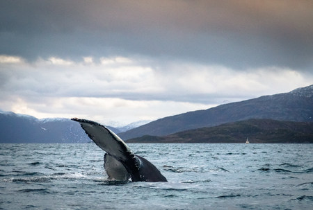 Humpback Whale Tail Fluke in the ocean in Tromso Norway Stock Photo