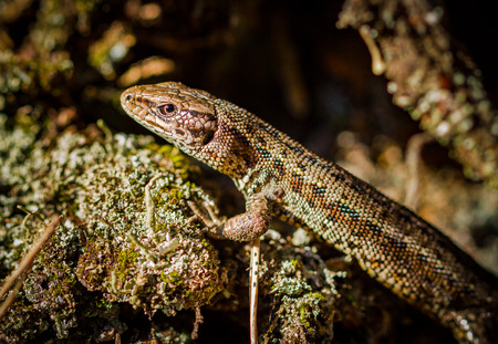 Common lizard, Zootoca vivipara Stock Photo