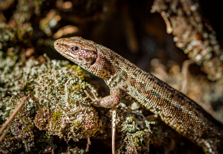 viviparous: Common lizard, Zootoca vivipara in natural habitat Stock Photo