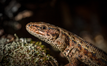 vivipara: Common lizard Zootoca vivipara natural habitat Norway