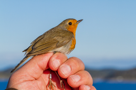 erithacus rubecula: Robin, Erithacus rubecula, bird in a womans hand for bird banding Stock Photo