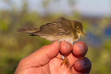 willow warbler, Phylloscopus trochilus, bird in a womans hand for bird banding