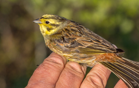 Yellowhammer, Emberiza citrinella, bird in a womans hand after bird banding