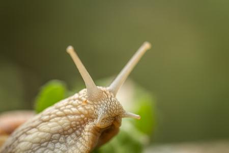 despacio: Roman snail aka Burgundy snail - Helix pomatia - portrait Foto de archivo