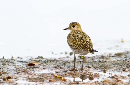 Eurasian Golden Plover Pluvialis apricaria, on beach with light background
