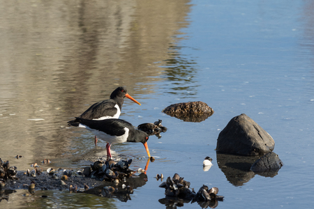 waders: Two birds Eurasian Oystercatcher. Haematopus ostralegus, on a beach cathing clams in Aust-Agder, Norway