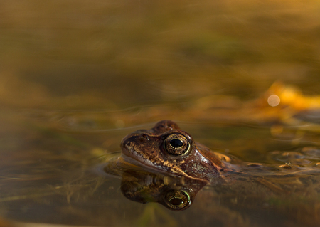 principe rana: Common frog, Rana temporaria, in a garden pond in Norway. View from the side, reflection of frog in water. April, spring
