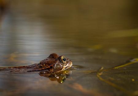 principe rana: Rana común, Rana temporaria, en un estanque de jardín en Noruega. Vista desde el lado, la reflexión de la rana en el agua. Abril primavera