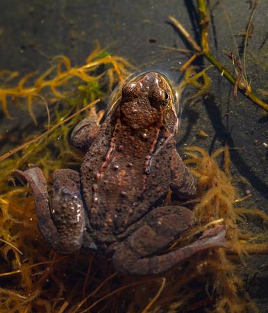 principe rana: Rana común, Rana temporaria, parte trasera de la rana visto desde arriba, sentado en un estanque de jardín en primavera, abril. Noruega