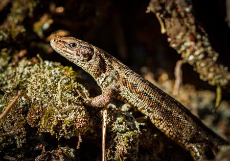 lacerta: Common lizard, Zootoca vivipara Stock Photo