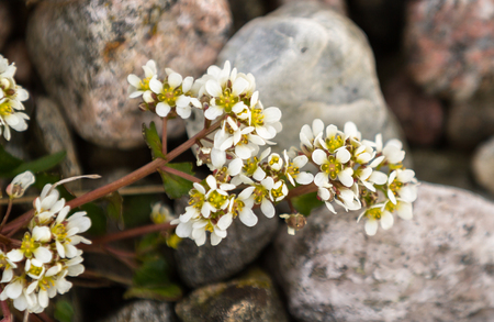 Common Scurvygrass, Cochlearia officinalis, with white flowers, growing on the pebble shore. The scurvy grass is rich in vitamin C, and were used by sailors as a cure against scurvy. From Jomfruland, an island in Kragero, Norway