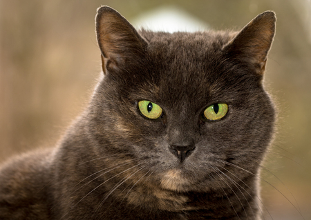 Grey cat, ten years old, female, looking into camera with green eyes. Head shot. Natural background. Stock Photo