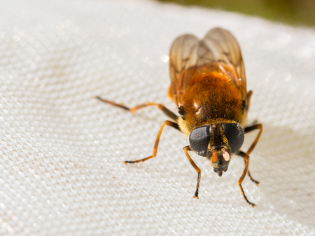 Hoverfly, Cheilosia chrysocoma, female, caught in a net for scientific reasons. Released and alive after. Stock Photo