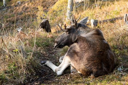Moose or elk, Alces alces, bull lying down resting