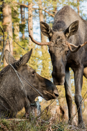 Moose or elk, Alces alces, cow lying down and bull standing, sniffing each other, vertical image Stock Photo