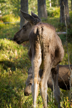 ungulate: European elk Alces alces two calves seen from behind vertical image