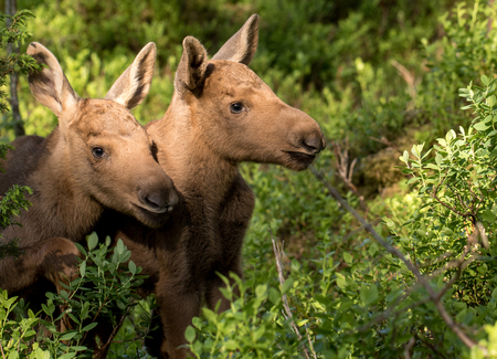 European elk Alces alces two twin calves in bilberry bushes Stock Photo