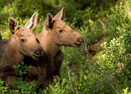 blueberry bushes: European elk Alces alces two twin calves in bilberry bushes Stock Photo