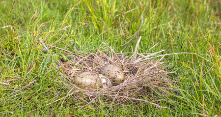 Nest of the Common Gull Larus canus with two eggs, one is hatching Stock Photo