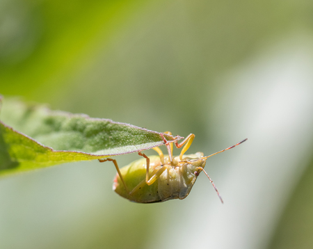 Mature Eurasian Green shield bug Palomena prasina hanging upside down on a green leaf