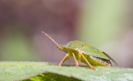 palomena prasina: Mature Eurasian Green shield bug Palomena prasina on a green leaf, side view