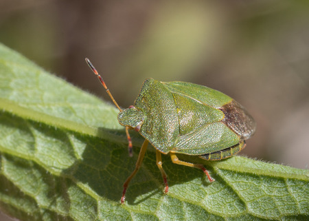 Mature Eurasian Green shield bug Palomena prasina on a green leaf, high angle view