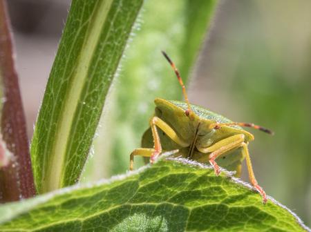 Mature Eurasian Green shield bug Palomena prasina on a green leaf, portrait of the front