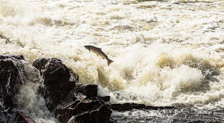 Atlantische zalm, Salmo salar, springend in turbulente watervallen in Kristiansand, Noorwegen