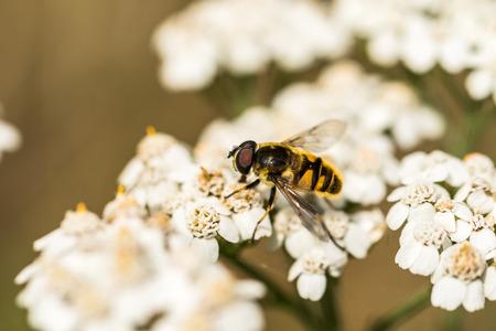 Myathropa florea hoverfly on Achillea millefolium Stock Photo