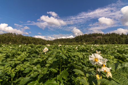 White flowers on potato plants with forest in the background, countryside