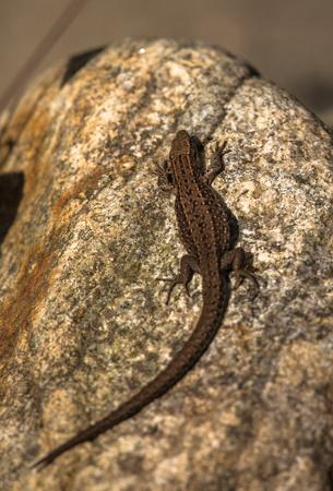 Viviparous lizard, Zootoca vivipara, resting on a rock Stock Photo