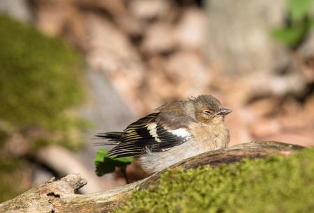 Sick Common Chaffinch Bird On The Ground