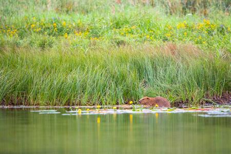 European Beaver, Castor fiber, sits in the river eating