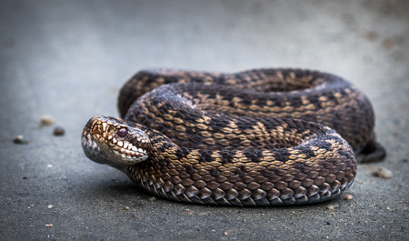 Snake, Common European Adder, Vipera berus Фото со стока