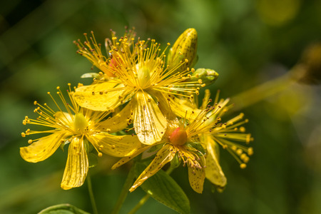 Blossoms of spotted St Johns wort, Hypericum maculatum Stock Photo