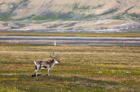 Svalbard reindeer standing on the tundra in summer at Svalbard Фото со стока