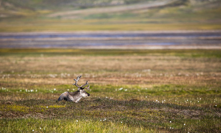 Svalbard reindeer lying on the tundra in summer at Svalbard