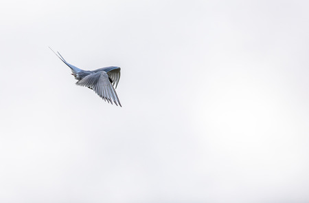 Arctic tern, Sterna Paradisaea, in the air on Svalbard