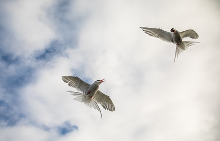 Two arctic terns, Sterna Paradisaea, in the air on Svalbard