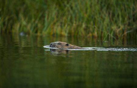 European Beaver, Castor fiber, swimming in a river