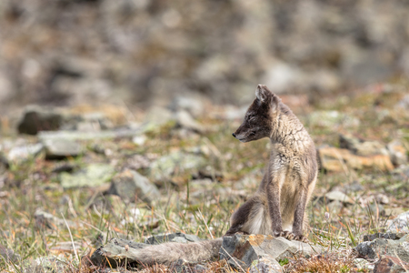 Arctic fox cub looking to the side, Svalbard