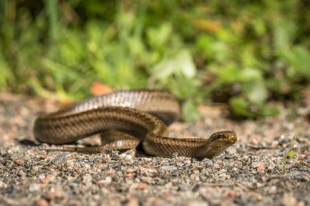 Smooth snake, Coronella austriaca