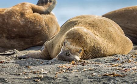 Walrus relaxing on a beach in Svalbard