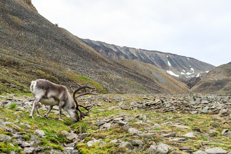 Svalbard male reindeer with big antlers grazing in Longyeardalen in summer, Svalbard Фото со стока