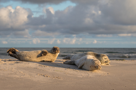 three Harbour seals, Phoca vitulina, resting on the beach. Early morning at Grenen, Denmark Stock Photo