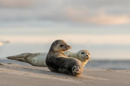 港のビーチの上に休むアザラシ、ゴマフアザラシ属のゼニガタアザラシ。早朝グレーネン、デンマークで