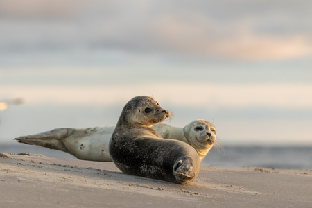 Harbour seals, Phoca vitulina, resting on the beach. Early morning at Grenen, Denmark Stock fotó