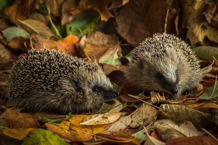two young hedgehogs in autumn leaves